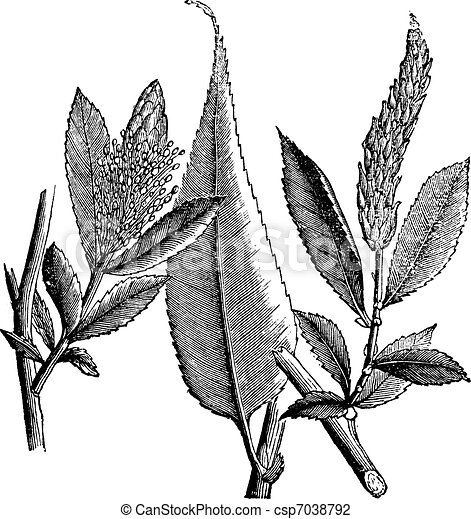 Shining Willow or Salix lucida vintage engraving - csp7038792