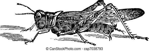 Rocky Mountain Locust or Melanoplus spretus vintage engraving - csp7038793