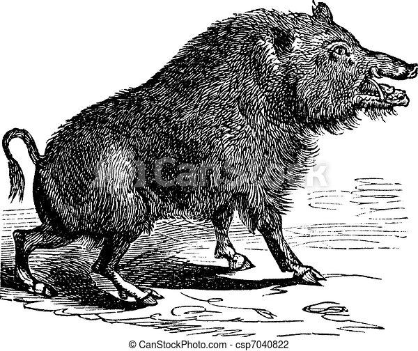 Wild boar or Sus scrofa vintage engraving - csp7040822