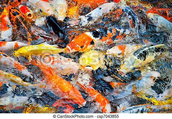 Images de color koi carpes alimentation fr n sie for Carpe koi tarif