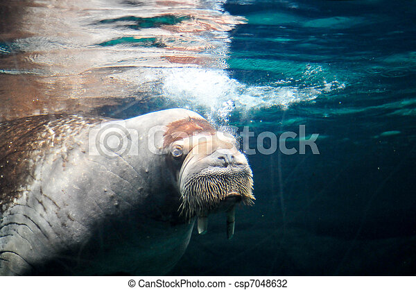 sea mammal swimming underwater - csp7048632