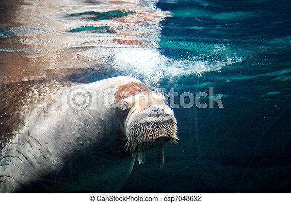 sea mammal swimming underwater - csp7048632
