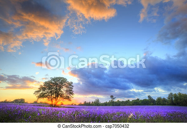 Beautiful image of stunning sunset with atmospheric clouds and sky over vibrant ripe lavender fields in English countryside landscape - csp7050432