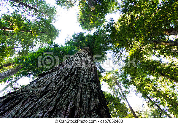 Towering California Redwood trees - csp7052480