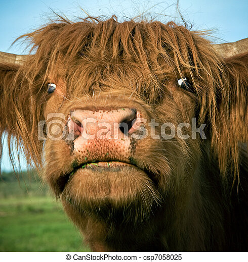 stock images of scottish highland cow close up of clipart cow football clipart cow football