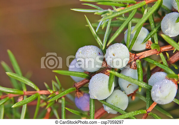 juniper on a bush - csp7059297