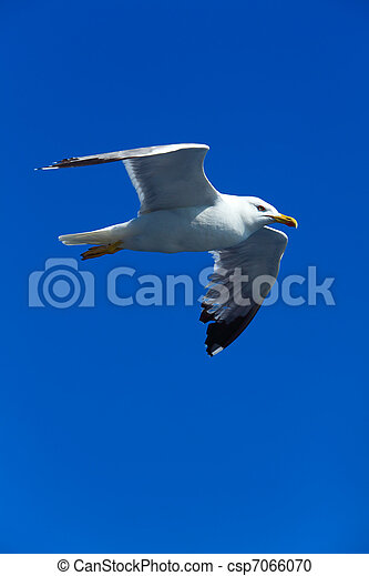 Seagull following boat near Athos Peninsula, Mount Athos, Chalkidiki, Greece - csp7066070