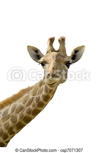 giraffe head white background - photo #44
