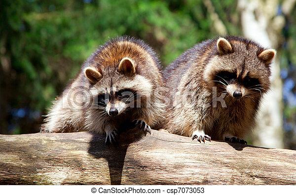 Raccoon on Tree Trunk - csp7073053