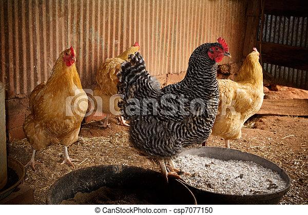 Four Chickens in a Chicken Coop - csp7077150