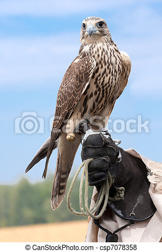 a falcon on handlers hand - csp7078358