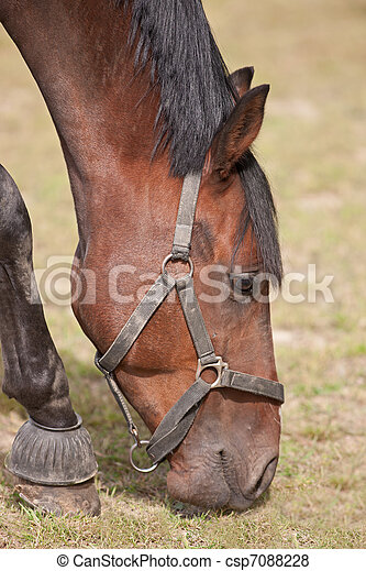 Thoroughbred Horse Grazing - csp7088228