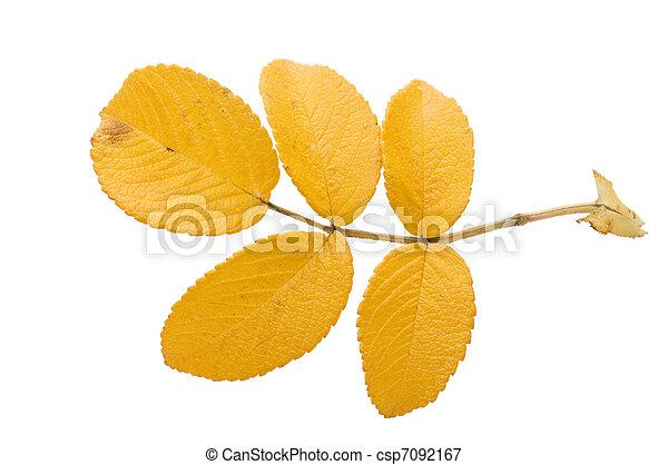 葉, 上に, 隔離された, 秋, 背景, 白 - csp7092167