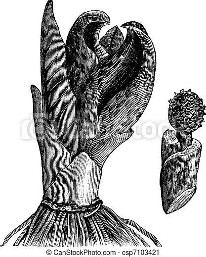 Skunk cabbage (Symplocarpus foetidus) or Eastern Skunk Cabbage, vintage engraving. - csp7103421