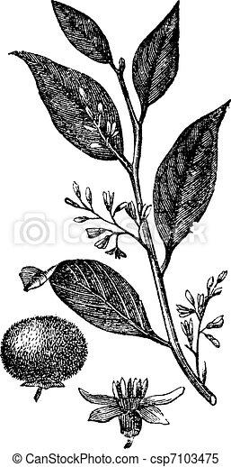 Styrax Benzoin or gum benjamin tree, vintage engraving. - csp7103475
