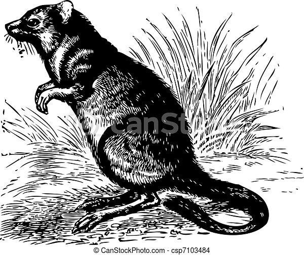 Long-nosed Potoroo or Potorous tridactylus vintage engraving - csp7103484