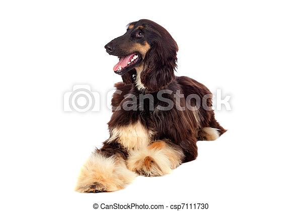 Arabian hound dog - csp7111730