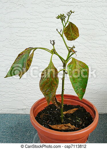 Stock Photo Of Dying Plant In Pot Potted Pepper Plant In