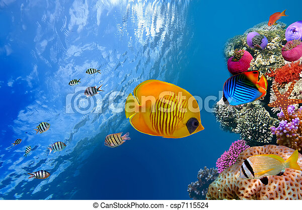 Masked butterfly fish (Chaetodon semilarvatus), Red Sea, Egypt - csp7115524