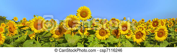 Wonderful panoramic view field of sunflowers by summertime - csp7116246