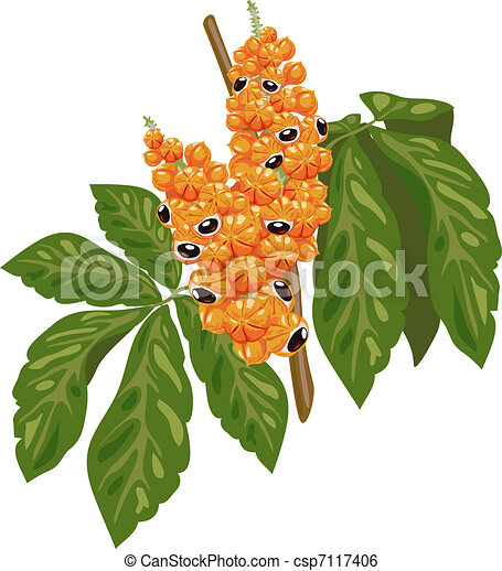 Guarana branch with fruit and leaves.  - csp7117406