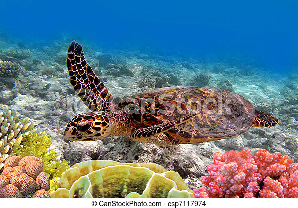 green sea turtle swimming in ocean sea - csp7117974