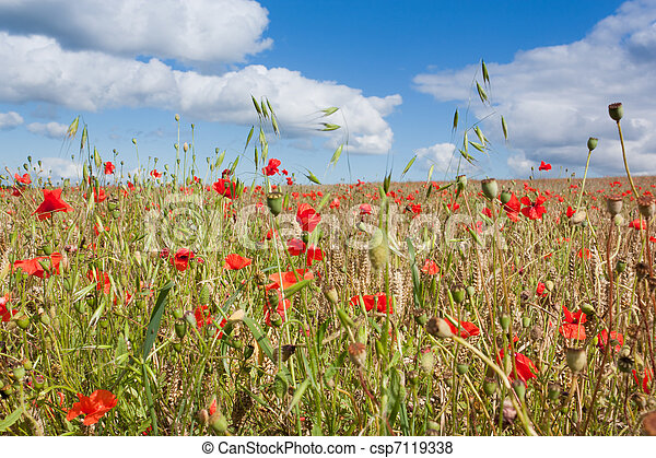 Poppies in a Wheatfield - csp7119338