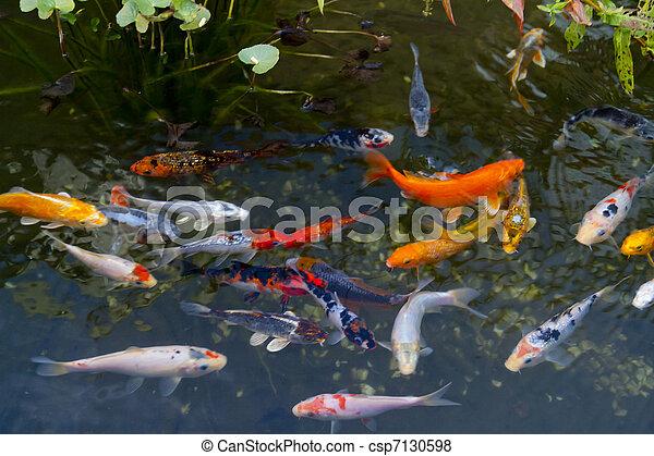 Koi Carp Fishes - csp7130598