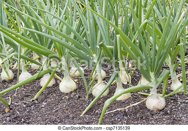 Row of large onions growing in soil - csp7135139