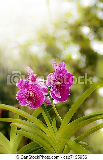 stock bild von orchidee blumen und hell sonne licht rosa orchidee csp7135956. Black Bedroom Furniture Sets. Home Design Ideas