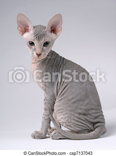 Gray Peterbald cat, Oriental Shorthair - csp7137043