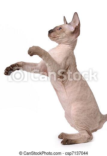 Brown Peterbald cat, Oriental Shorthair standing on his back paws - csp7137044