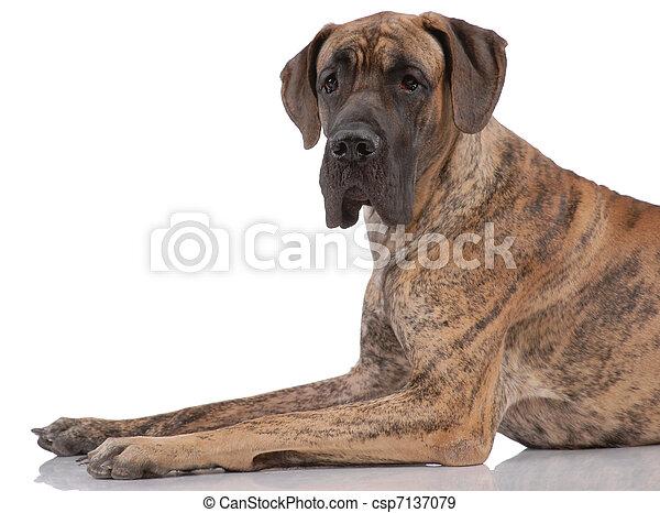 German mastiff - csp7137079