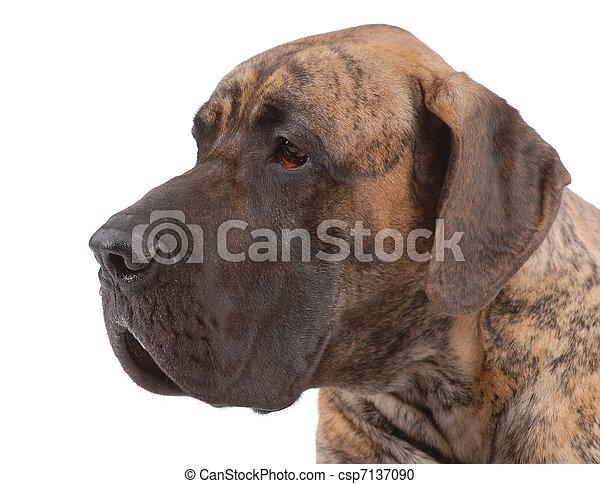German mastiff - csp7137090
