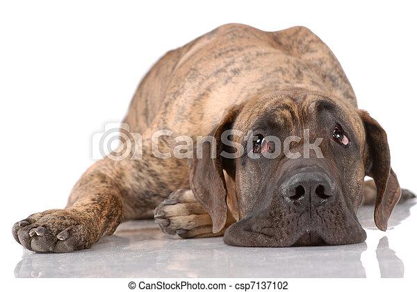 German mastiff - csp7137102