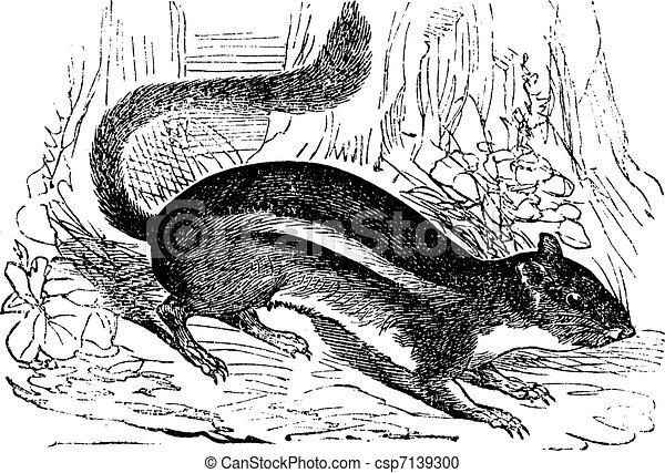 Ground squirrel (Tamias striatus) or Eastern chipmunk , vintage engraving. - csp7139300