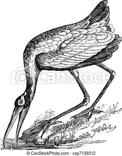 Wood Stork (Tantalus loculator) or Mycteria americana, vintage engraving. - csp7139312