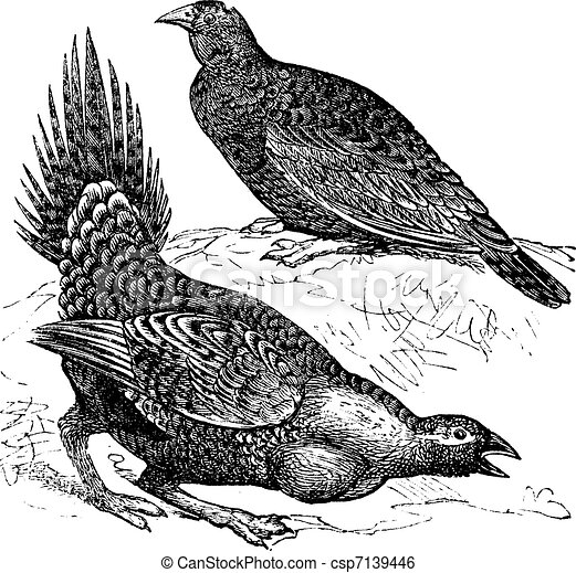 Cock of the Plains (Centrocercus urophasianus) or Sage grouse, female (top figure) and male, vintage engraving. - csp7139446