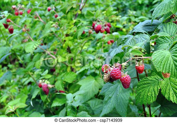 plantação, framboesa - csp7143939
