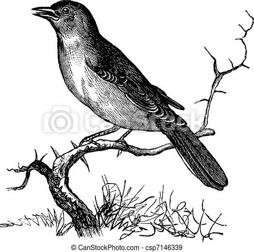 Nightingale or Luscinia megarhynchos vintage engraving - csp7146339