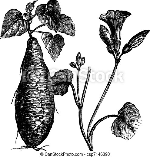 Sweet Potato or Ipomoea batatas, vintage engraving - csp7146390