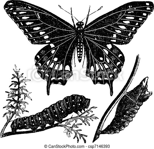 Black Swallowtail Butterfly or Papilio polyxenes, vintage engraving - csp7146393
