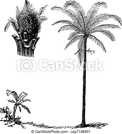 Royal Palm or Roystonea regia, vintage engraving - csp7146401