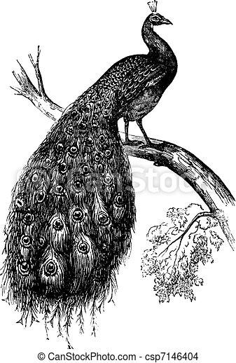 Indian Peafowl or Blue Peafowl or Pavo cristatus, vintage engraving - csp7146404