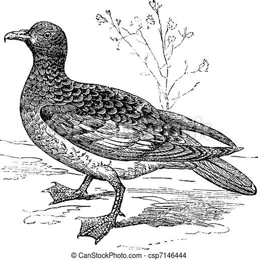 Cape Petrel or Cape Pigeon or Daption capense, vintage engraved illustration. Trousset encyclopedia (1886 - 1891). - csp7146444