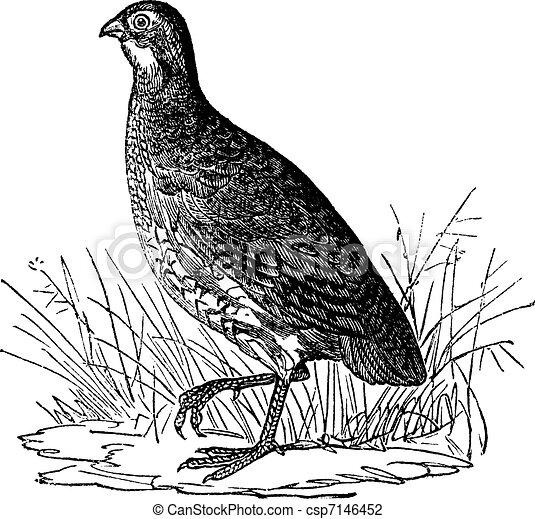 Bobwhite Quail or Northern Bobwhite or Virginia Quail or Colinus virginianus, vintage engraving - csp7146452