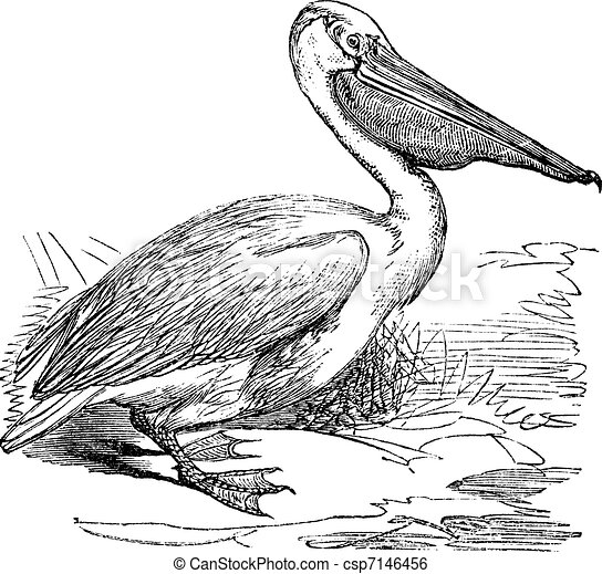 Great White Pelican or Eastern White Pelican or Pelecanus onocrotalus, vintage engraving - csp7146456