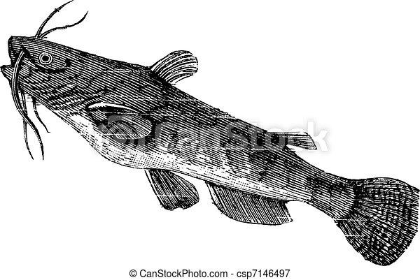 Brown bullhead or Ameiurus nebulosus, vintage engraving. - csp7146497