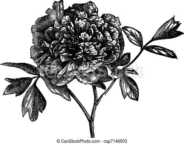 Tree peony (Paeonia Moutan), vintage engraving. - csp7146503