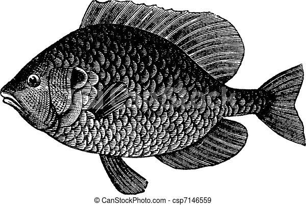 Pumpkin Seed Drawing Pumpkinseed Sunfish or Lepomis